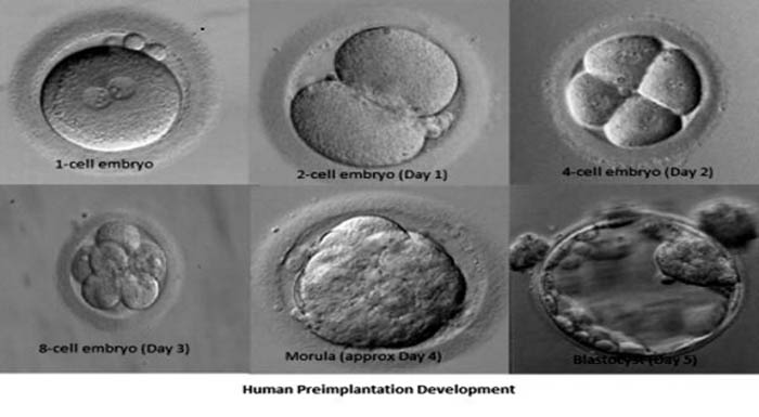 day 3 day 5 embryos